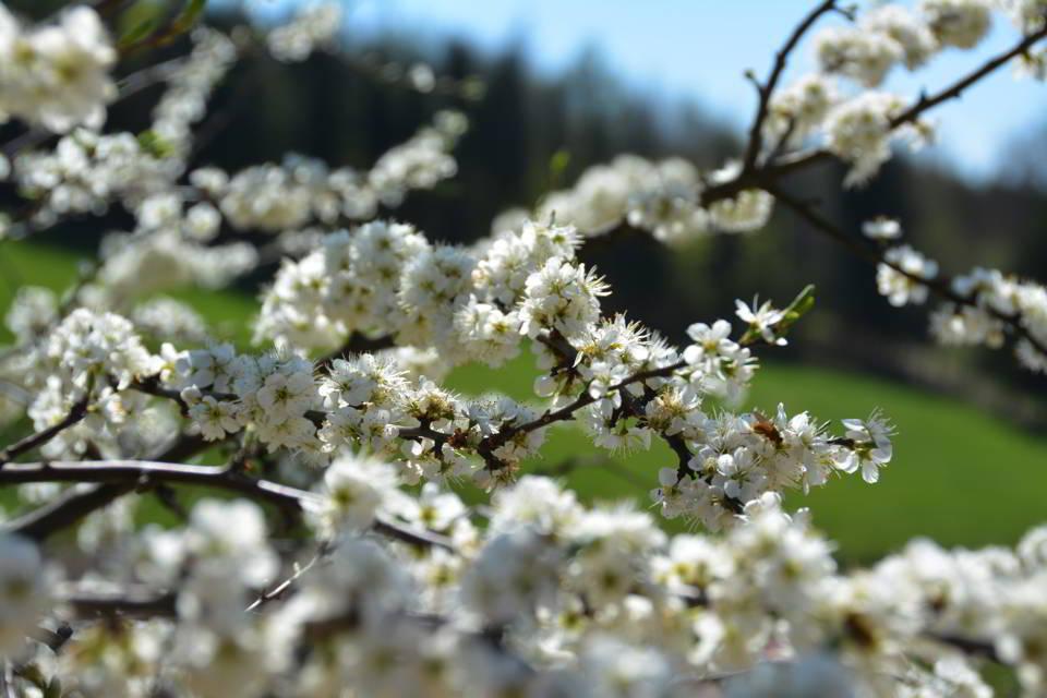 aarau-fruehling-kirschbluete-fotografie